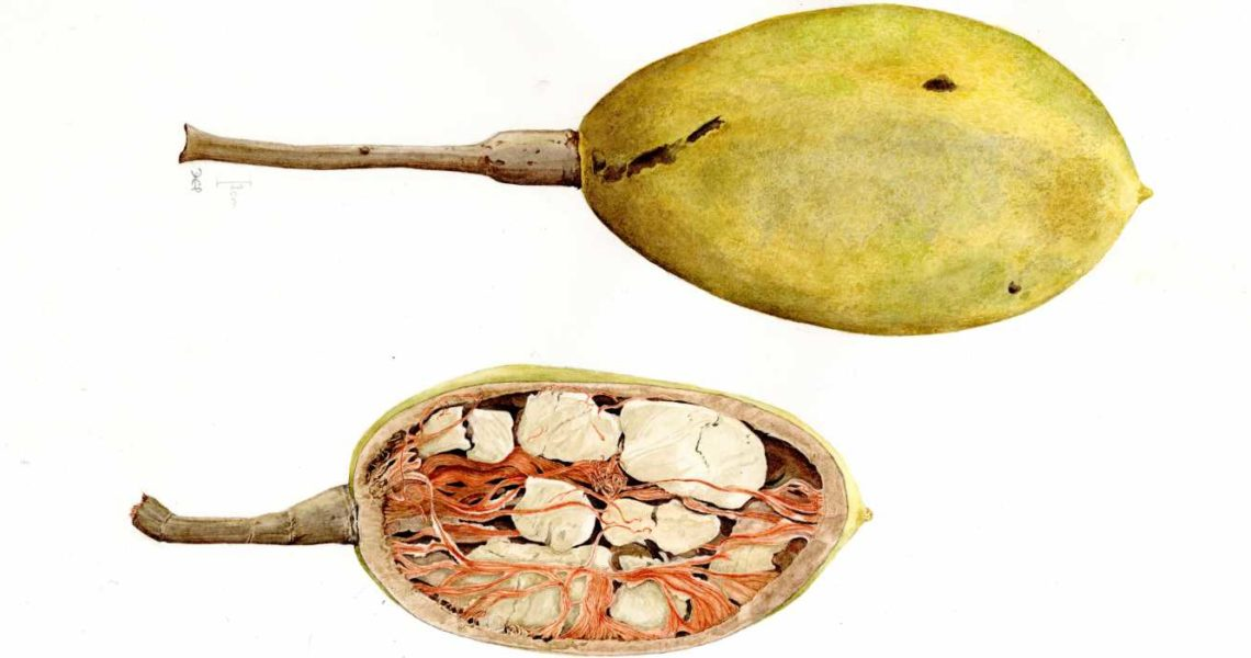 baobab-illustration