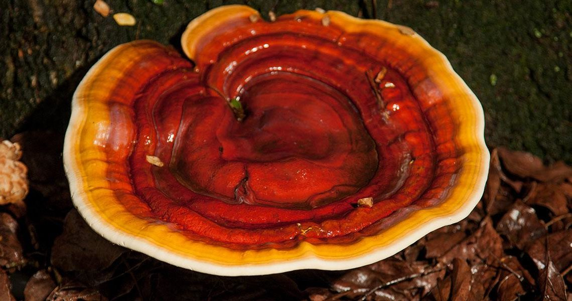 reishi-mushrooms-4